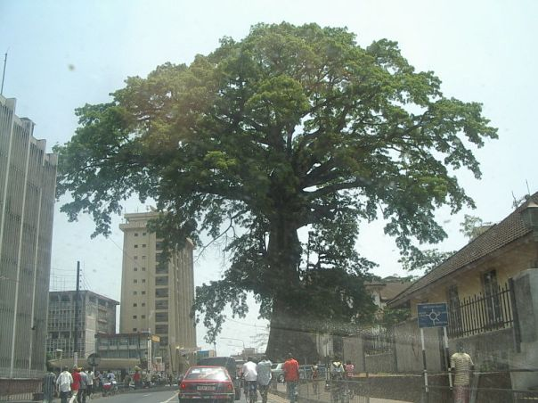 cotton tree sierra leone da wikipedia