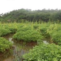La piantagione di arachidi