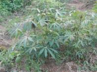 Le piante di cassava