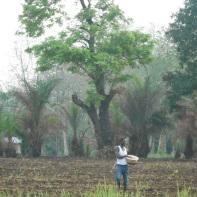 La semina del riso