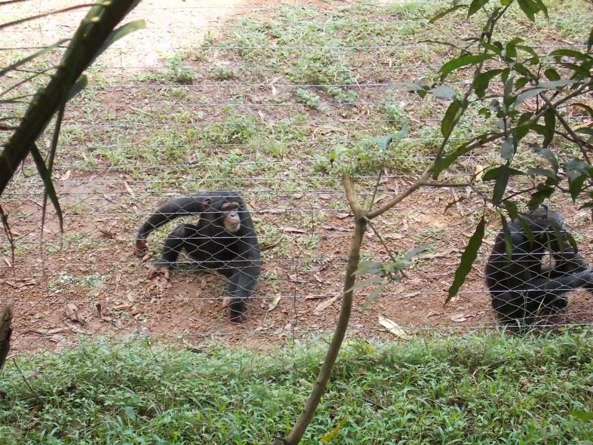 Tacugama, il santuario degli scimpanzé
