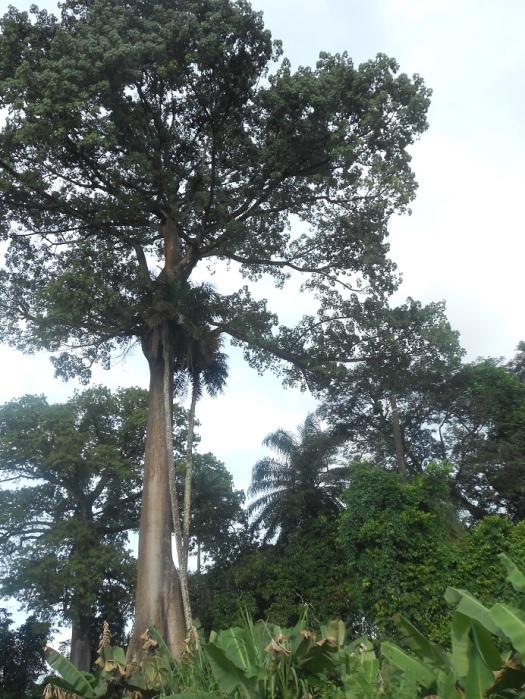 Piccolo arboreto della Sierra Leone