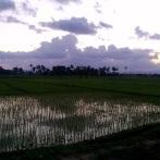 Finestra su Haiti - Il riso